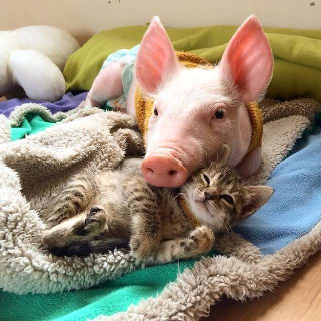 pig and cat-5