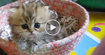 This Fluffy Kitten Is So Innocent That You'll Fall In Love Instantly When You See… Oh My Goodness!!