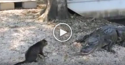 Fearless Cat Protects Humans From Alligators, Just Watch What The Cat Does At 1:13
