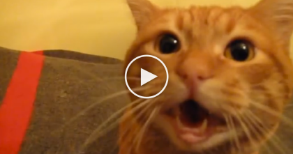 He Came Home, But When This Ginger Kitty Notices?? Just Watch The Reaction, Awwwwww!