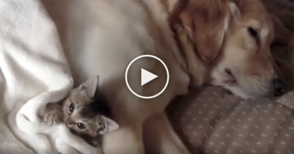 Tiny Kitten Needs Some Sleep, But Watch Where He's Sleeping… TOO Much Cuteness!!