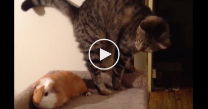 Kitty Wants The Bed, But Guinea Pig Refuses To Move… Now Just Watch Her Paws, LOL