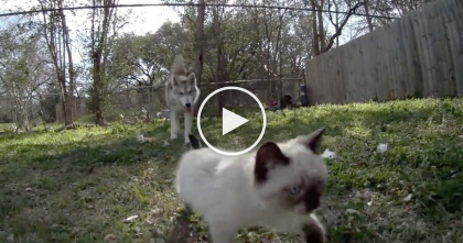 See This Kitten? Just Watch When A Husky Grabs It By The Neck… OMG, I Can't Believe My Eyes.