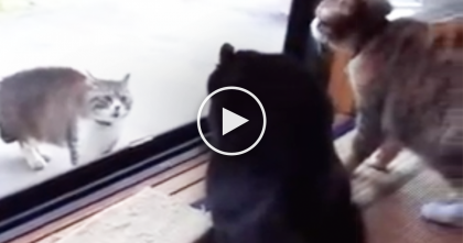 Terrifying Screams Recorded When Cat Notices Intruder… I Can Hardly Believe It, WOW