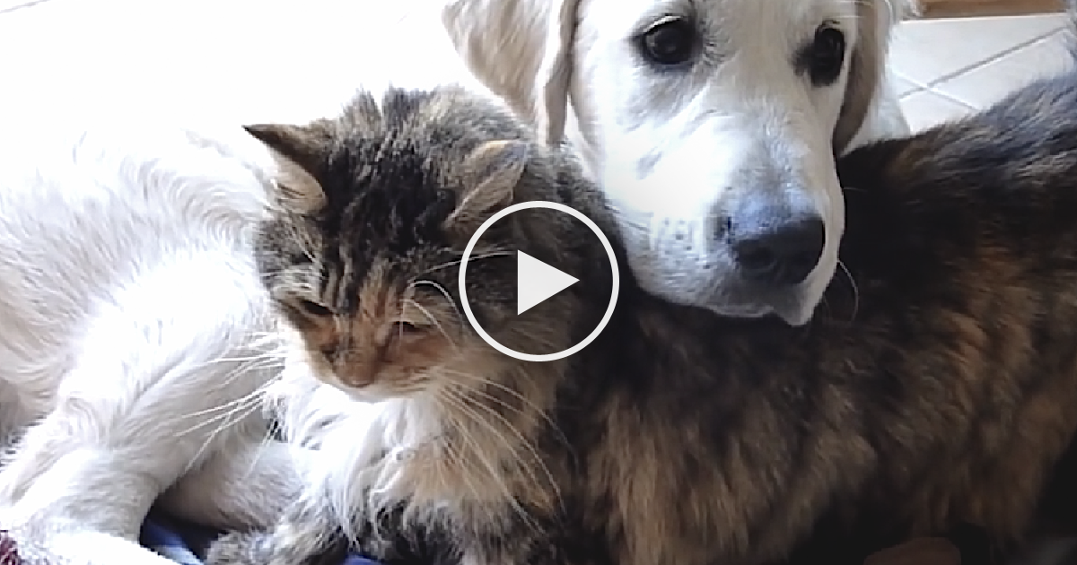 This Cat And Golden Retriever Are The Sweetest Ever Just