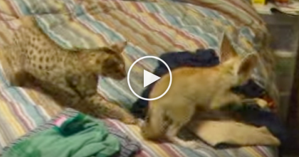 Watch Savannah Cat And Hyper Fennec Fox Racing Around Like Crazy Kids… Oh My, LOL!!