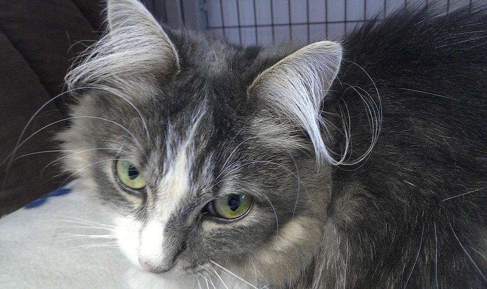 3_Cat_with_Hairy_Ears