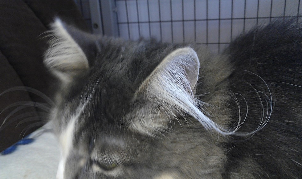 4_Cat_with_White_Tufts