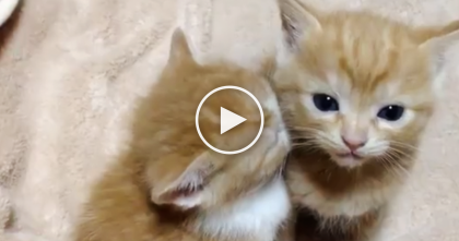 Two Adorable Ginger Kittens Get So Tired Together, They Just Can't Help It… And It's Unbearably Cute!