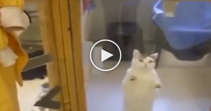 Watch The Reaction When This Shelter Cat Sees His Favorite Human Coming… OMG.