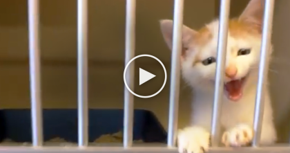 Poor Un-Adopted Little Kitten Tries To Get Humans Attention At Shelter… Now Watch What He Does.