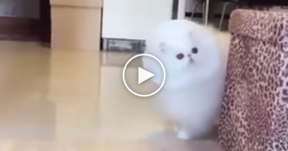 When I Saw This Cat, I Didn't Know To Say… Just Watch, SOO Fluffy You Won't Believe Your Eyes