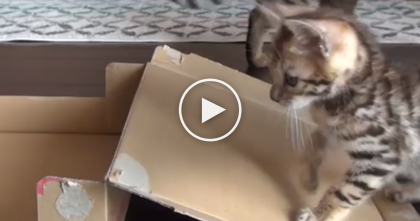 Cat Jumps On A Box For The First Time, But Then Watch Till 0:11… How Cute Is That?!