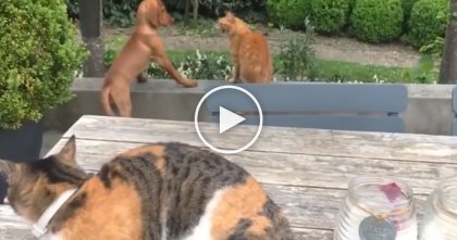 Cat Notices Another Cat Being Mean To His Doggy Friend, Now Watch His Reaction, OMG…