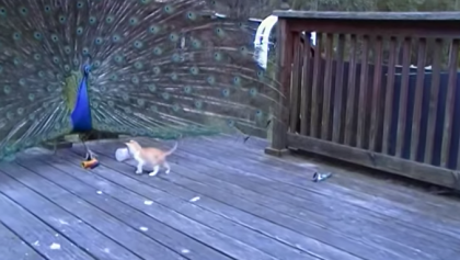Kitten Sees Massive Peacock For The First Time, But Just Watch His Reaction… It's Just Hilarious!!