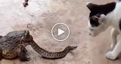 Massive Toad Is Eating A Snake, But When Kitty Notices… Just Watch The Cats Reaction, OMG