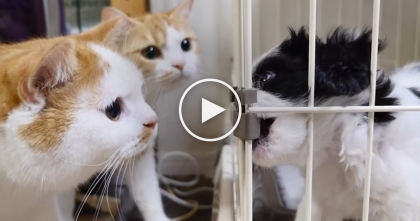 They Got A New Puppy, But When These Ginger Kitties Notice…Just Watch The Reaction, LOL!