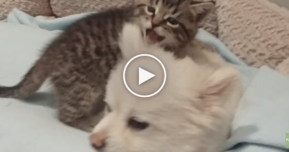 Rescue Kitten Discovers Pomeranian Doggie, Just Watch His Reaction…SOO Cute, Awww!!