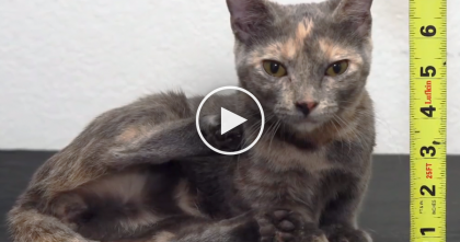 She Looks Like A Kitten, But Take A Closer Look… WOW, Have You Ever Seen A Cat Like This?!