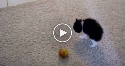 Itty Bitty Kitty Gets Scared By Toy Ball, But What He Tries To Do Next…Way TOO CUTE, Omg!