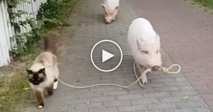Kitty Goes For A Walk, But Keep Your Eye On The Pig… I've NEVER Seen Anything Like It, LOL!!