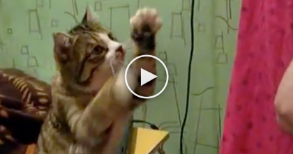 Kitty Wants His Ears To Be Petted, Now Watch What He Does To Get His Owners Attention… OMG