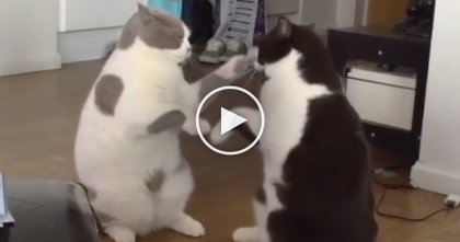 This Violent Cat Fight Is SOO Cute, It's Not Even Violent… Just Watch, You'll Love This… LOL.