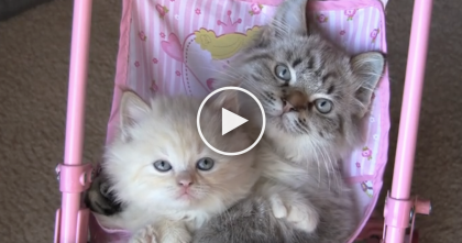 When These Kittens Hang Out, You'll Never Guess Where They Sit Together… This Is The CUTEST.