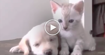Kitten Discovers The Puppy, But Watch What Comes Next… It's The CUTEST Thing Ever, Omg!!
