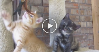 Kitten Won't Give Up His Toy, But Keep Watching Till 0:07… OMG, He Just Couldn't Keep Waiting!!