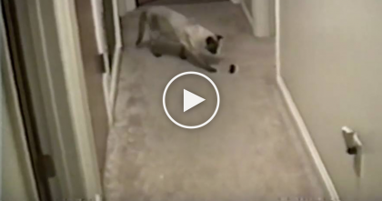 Kitty Starts Playing With The Toy, But Then All Of A Sudden… LOL, How Does He Do That?!