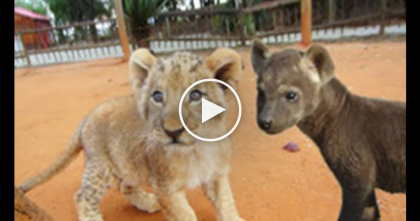 Orphaned Lion Cub Tries To Chase Animal Down, But When You See What's Happening… WOW.