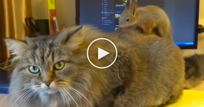Squirrel Jumps On The Cat, But When I Saw What Came Next… I Don't Know What To Say, OMG.