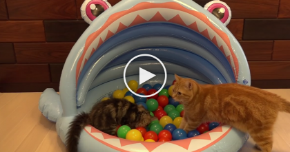 They Made Their Cats A Pool Of Colorful Balls, When They Discover It… You've GOTTA See The Reaction!