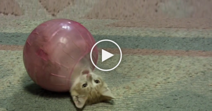 Tiny Kitten Notices Hamster Ball, But Then… He Just Can't Resist, It's The CUTEST Thing Ever!!