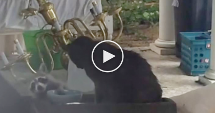 Cat Is Eating Food, But When This Raccoon Comes Up And… LOL, This Is Totally Unexpected!