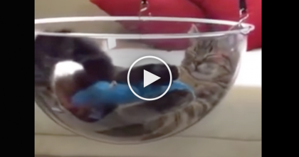 WATCH: Cat Was Being Lazy, So He Jumps Into This Glass Bowl And Starts Swinging…