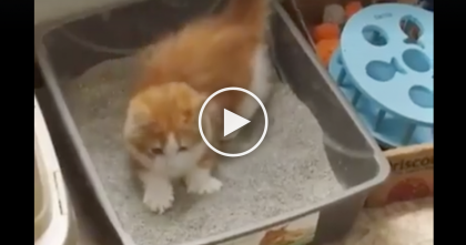 Cute Ginger Kitten Can't Find Where He Went Poop, Just Watch The Results… SOO Cute, Oh My!!