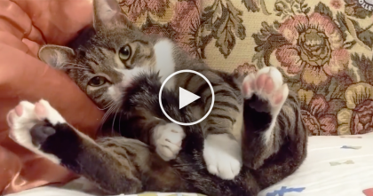 Kitty Gets Sleepy, But Then Starts Sucking His Own Tail… Oh My Goodness, What Is He Doing?!