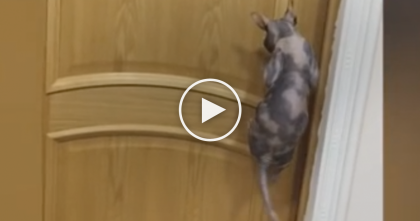 Nobody Believed What Their Cat Did, So They Recorded It… Just Watch When The Cat Jumps, WOW!!