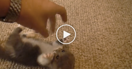 Scottish Fold Munchkin Kitten Gets His Belly Scratched, But WATCH His Adorable Reaction…