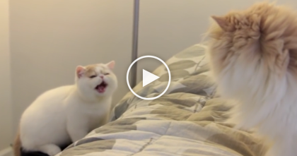 They Got A New Kitten, But When He Discovers The Older Cat, Now Watch The Reaction… OMG!!