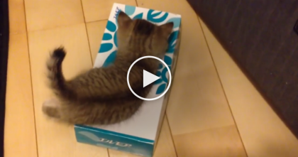 This Kitten Tries Climbing Into A Box Of Tissue, But Keep Watching… OMG, This Is Just The CUTEST…