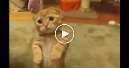Tiny Ginger Kitten Tries Catching A Toy, But Watch What He Does To Get It… AWWW!!