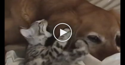 Bengal Kitten Tries A Ninja Sneak Attack On His Friend, But Then Gets Exactly What He Deserves