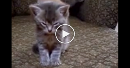 Kittens Are Playing Like Crazy In The Background, When This Kitten Gets Tired, Watch What He Does…