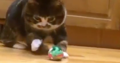 Rollie Pollie Kitty Tries To Play With Toy But Then Falls Over like A Cutie Pie! Awwww!