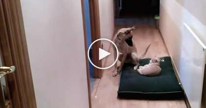 Stubborn Cat Refuses To Give His Bed To The Dog, But Watch How The Cat Handles This Dog…TOO Funny!!