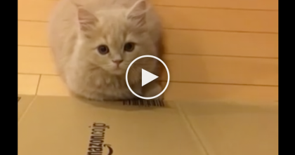 Munchkin Kitty Discovers A New Game, But You've Gotta See The Response… This is SOO Cute, Awwww!!