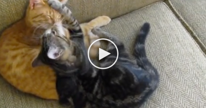 Two Kitties Snuggling And Kissing Each Other, Just WATCH How Sweet… This Is The CUTEST!!